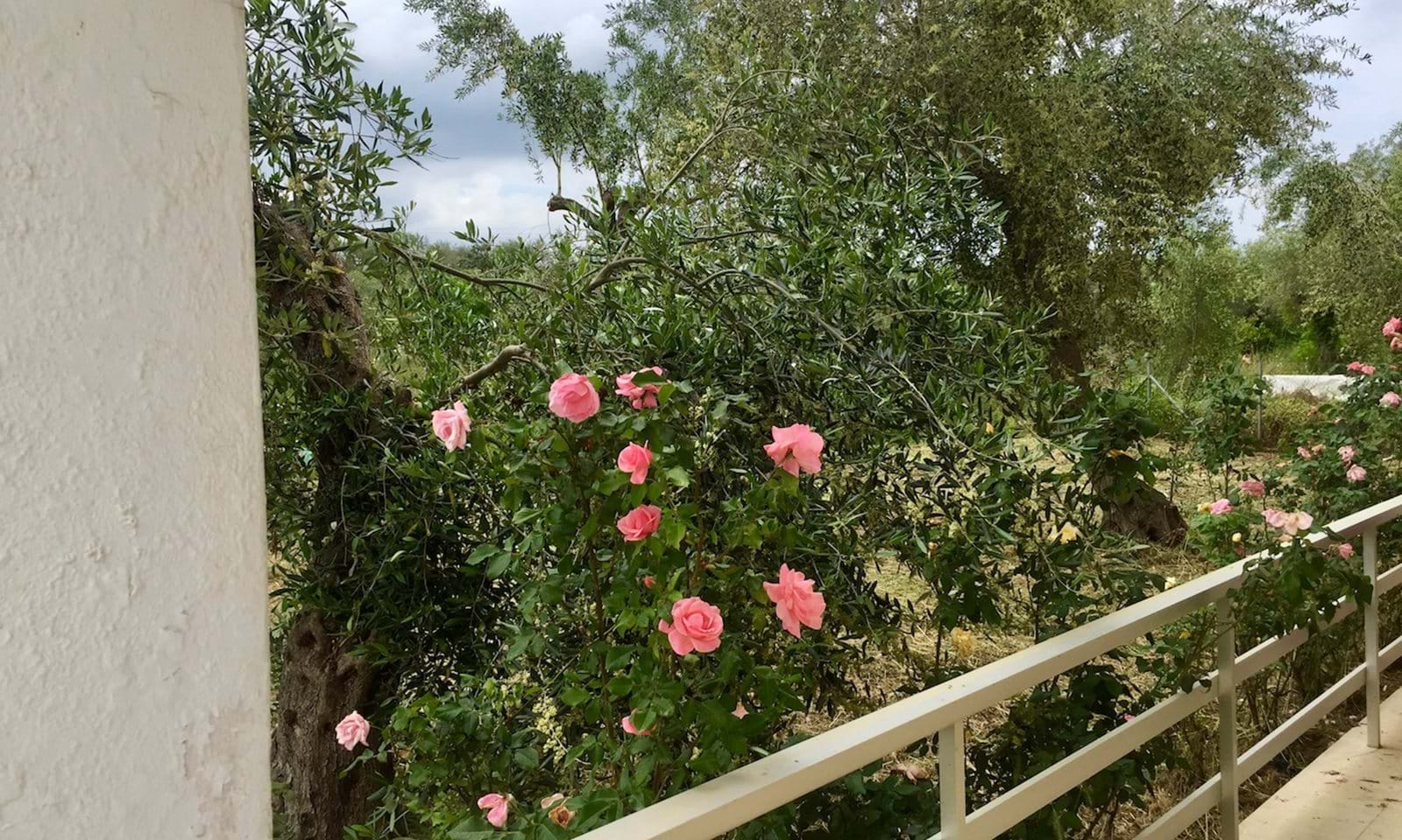 Roses at the entry of the lower level apartments to one building