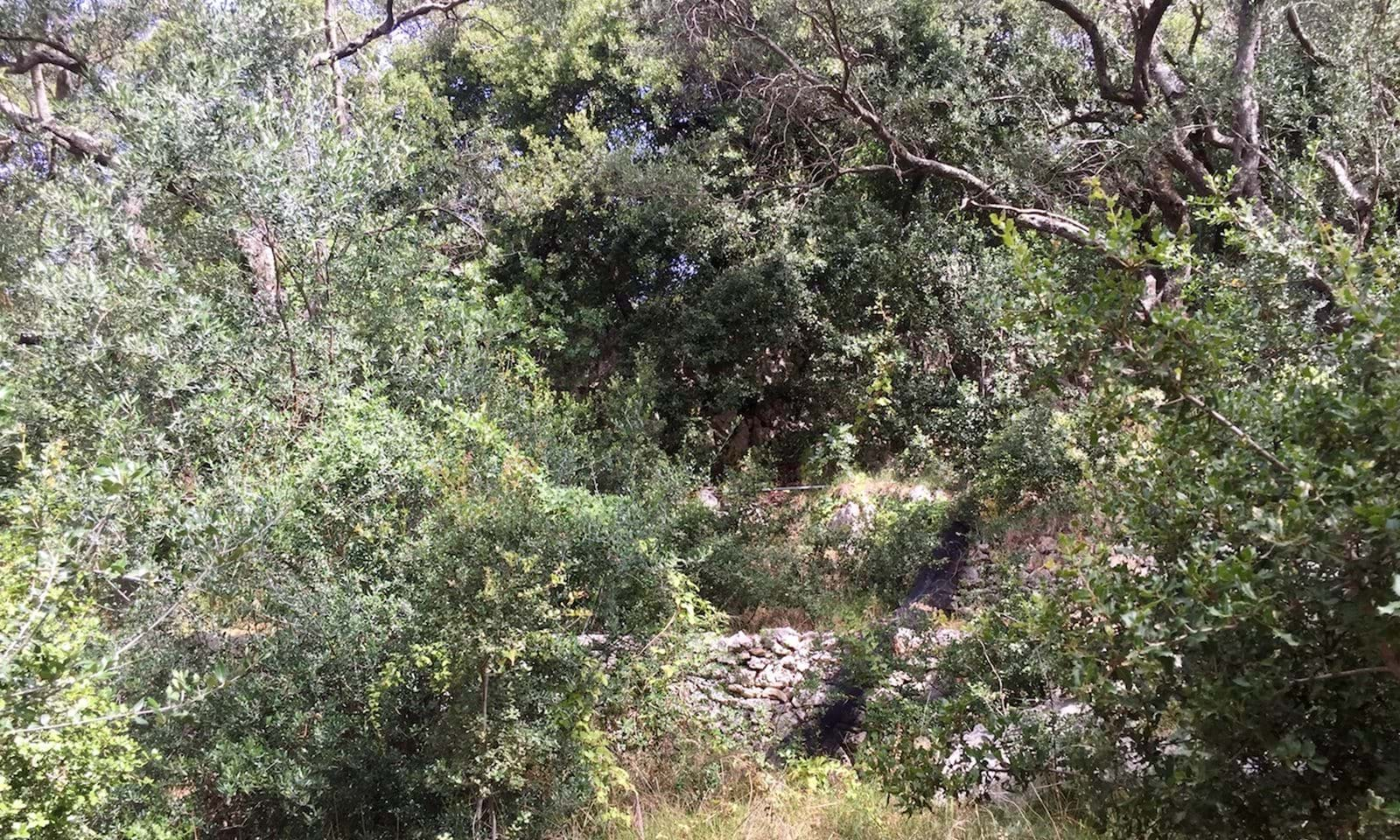 Olive trees in corfu, land in nissaki for sale